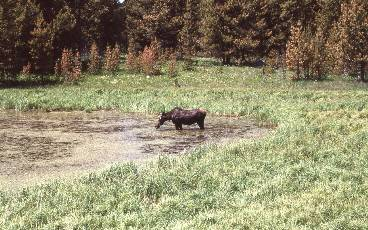 wborder bop-11  Moose near Canyon, Yellowstone.jpg (491464 bytes)