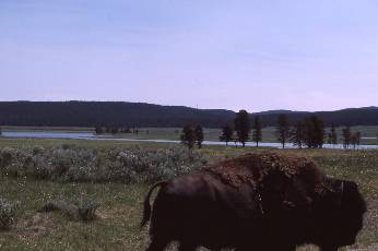 wborder bop-9  bison too close.jpg (178650 bytes)