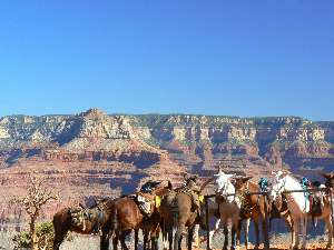 wGCHBA-day1-2 Mules at rest stop.jpg (373647 bytes)