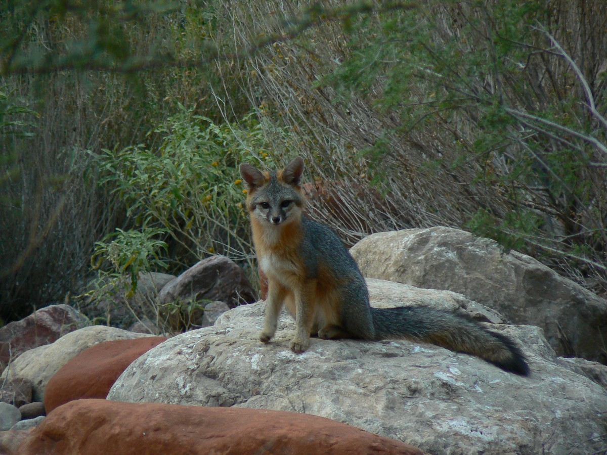 A Red Fox watches GCHBA volunteers in BA campground - photo by Rob of the WV