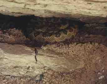 Grand Canyon Rattlesnake (8289 bytes)