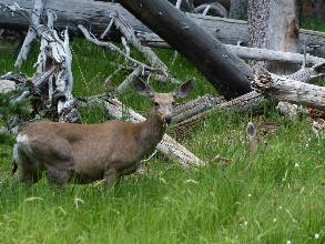 wgreat-basin-NP-day2-14  doe and fawn.jpg (410539 bytes)