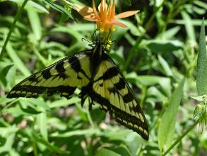 wgreat-basin-NP-day3-12  butterfly.jpg (228499 bytes)