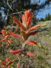 wgreat-basin-NP-day3-8  Paintbrush.jpg (162477 bytes)