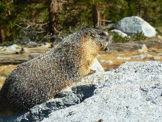 wjmt-day24-yellow-belly-marmot1.jpg (585358 bytes)