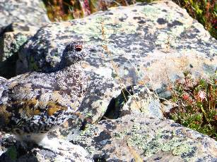 wpecos-2014-day2-16  Rock Ptarmigan.jpg (494572 bytes)