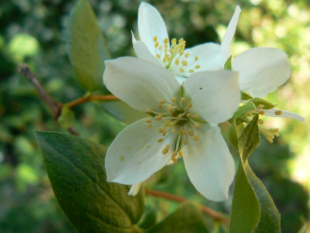 Image Gallery Idaho State Flower