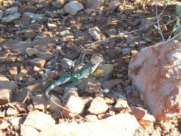 wwup-2011-day1-15 colared lizard.jpg (413297 bytes)