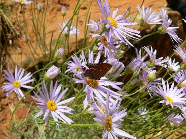 wzion2012-day5-11  butterfly on aster.jpg (350034 bytes)