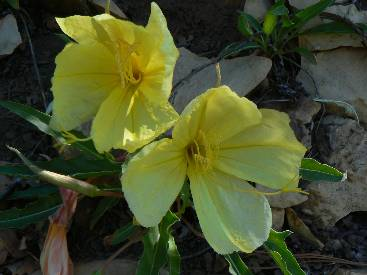 wzion2012-day8-3    primrose in the morning.jpg (228159 bytes)